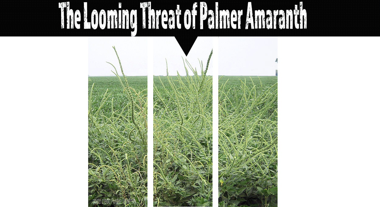 Eldon-C-Stutsman-Inc-Looming-Threat-Palmer-Amaranth-Iowa